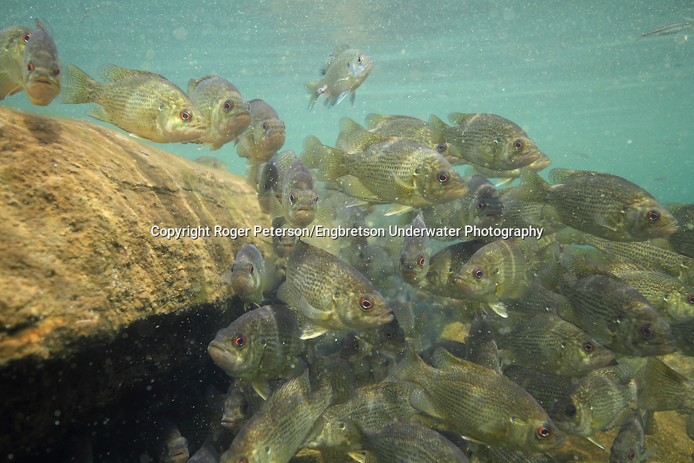 Group of Rock Bass<br /> <br /> Roger Peterson/Engbretson Underwater Photography