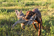 John Zeman's, German shorthair Louie, retrieves a sharptail during a Montana prairie grouse hunt.