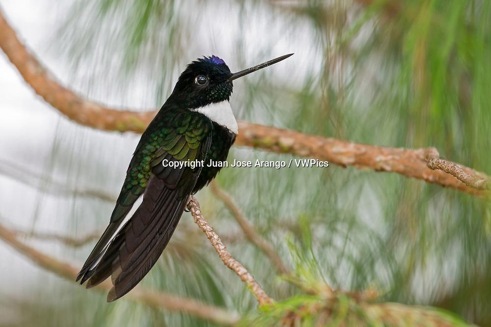 Collared Inca (Coeligena torquata) male,