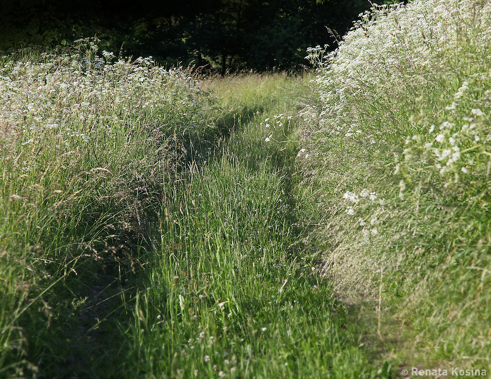 A trail lined with queen anne's lace flowers runs through a countryside in the Czech Republic