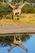 Double Giraffe Reflection