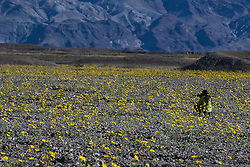 A photographer shoots in a field of Desert Gold (Geraea canescens) wildflowers on February 21, 2016 in Death Valley National Park, California, United States of America.