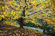 European Hornbeam Trees Fall Foliage in Japanese Garden at The Huntington, San Marino, California