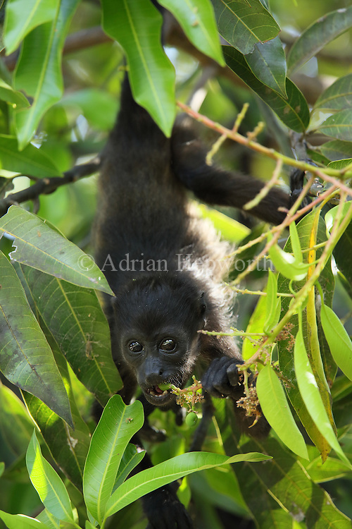 Mantled howler monkey (Alouatta palliata) feeding. Tropical dry forest. Palo Verde National Park, Guanacaste, Costa Rica.