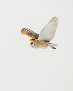 Barn owl flying in daylight, Utah