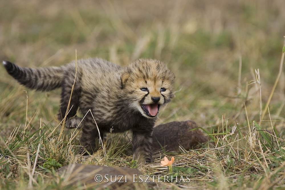 Cheetah<br /> Acinonyx jubatus<br /> 16 day old cub calls to its mother while clumsily walking through the grass<br /> Maasai Mara Reserve, Kenya