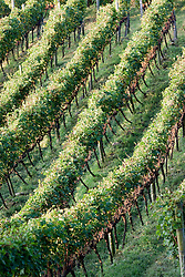 Vinhedos de merlot da Vinicola Lidio Carraro./ Merlot Vineyards from the winery Lidio Carraro.Ano/Year 2010