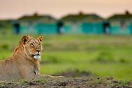 Lion resting near ranger's housing complex, Panthera leo, Masai Mara National Reserve, Kenya