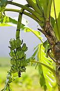 Banana Tree, Queensland, Australia