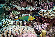 A Sunset wrasse swims over a coral reef in the South Pacific.