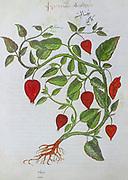 Hand drawn Physalis alkekengi from a Byzantine manuscript Aniciae Julianae Codex ca. 512.  Common names include bladder cherry, Chinese lantern and Japanese lantern