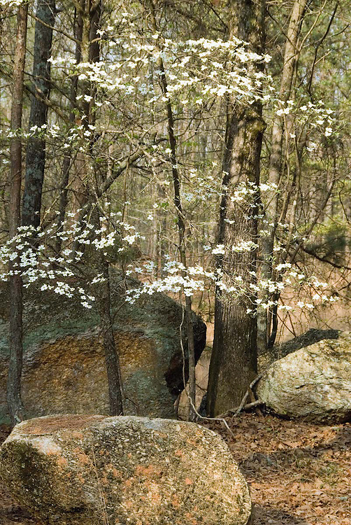 Dogwood and Rocks