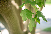 college green, Mapp Athens, summer, Tree Tour, hedge maple