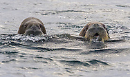 Walrus Odobenus rosmarus<br /> Cleaning the shores of Svalbards trip<br /> Linking Tourism &amp; Conservation (LT&amp;C)<br /> Day02 29/08/2015<br /> Svalbard Islands Aug. 27 -Sept.6th  2015 <br /> Photo G.Scala/Deepbluemedia