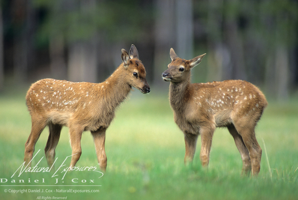 Elk (Cervus canadensis) twin spring calves in a meadow during early summer.