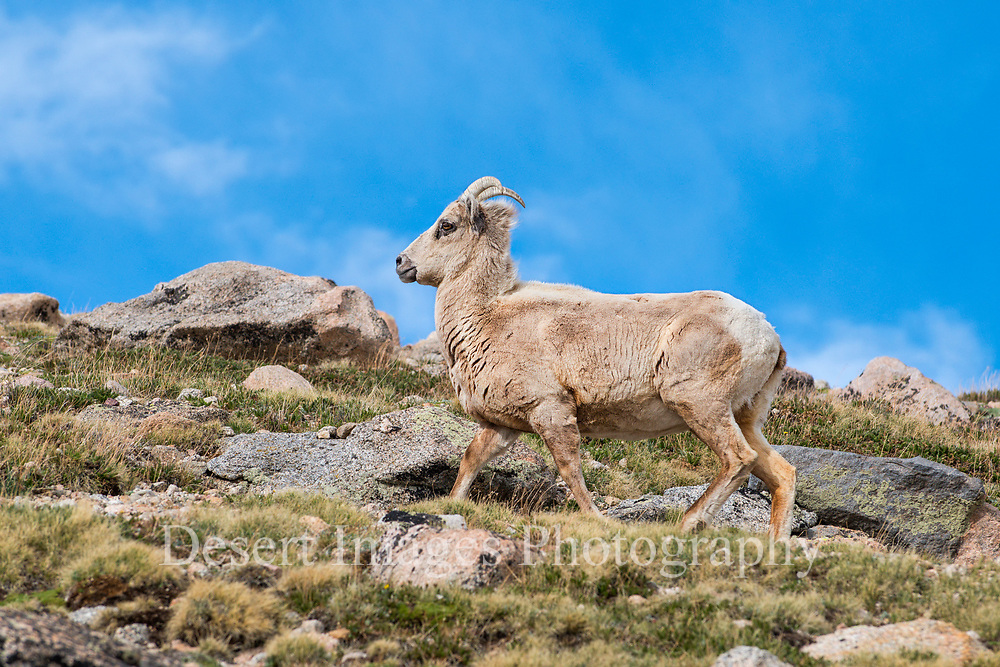 Bighorn Ewe<br /> Mt. Evans, Colorado