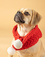 Portait of cute little puggle wearing a red fashion scarf
