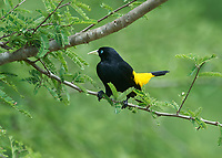 Yellow-rumped Cacique (Cacicus cela), Araras Ecolodge,  Mato Grosso, Brazil (Photo: Peter Llewellyn)