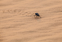 A black beetle crawling in the sand, Thar Desert, Rajasthan, India.