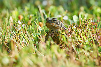 Eastern American Toad (Anaxyrus americanus) (previously listed as Bufo americanus), Cherry Hill, Nova Scotia, Canada