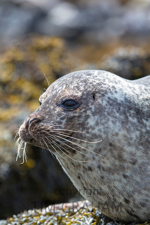 Close-up face of Common Seal or Harbour Seal, Phoca vitulina, adult on Isle of Skye, Western Scotland