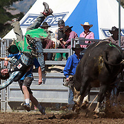Quillan Lowry from Canada is thrown from his bull during the Open Bull Ride at the Wanaka Rodeo. Wanaka, South Island, New Zealand. 2nd January 2012