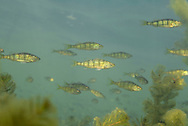School of juvenile Yellow Perch<br />