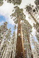 Giant Sequoia Trees After Winter Snowstorm, Calaveras Big Trees State Park, California