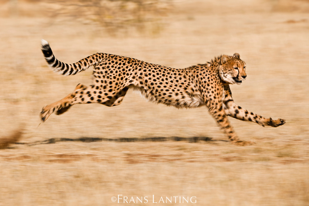 Cheetah running, Acinonyx jubatus, Cheetah Conservation Fund, Namibia