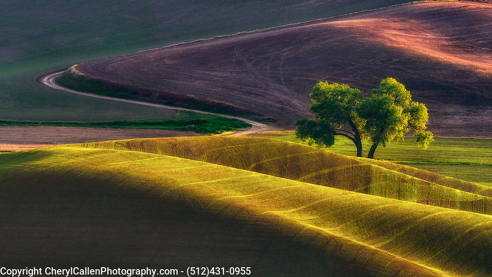 Lone Tree in Palouse
