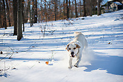 A young yellow labrador retriever romping through a foot of snow during a winter in New England