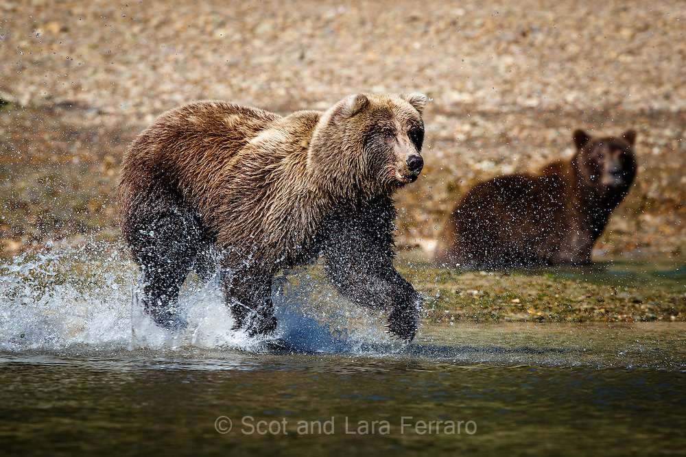 A sow chases a salmon while one of her 3 yearling cubs looks on.  As soon as she catches a fish the cubs will come running over and each try to claim the prized catch.