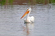 Twin Falls, American White Pelican at The Hagerman State Wildlife Management Area near the city of Hagerman in southern Idaho