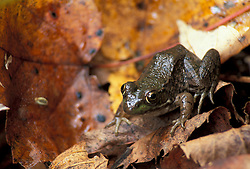 Durham, NH.Green frog, Rana clamitans. Amphibians.  Near the Lamprey River below Wiswall Dam.