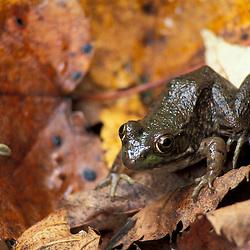 Durham, NH.Green frog, Rana clamitans. Amphibians.  Near the Lamprey River below Wiswall Dam.