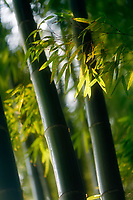 Artistic closeup of bamboo leaves and culms in fall nature scenery. Arashiyama, Kyoto, Japan.