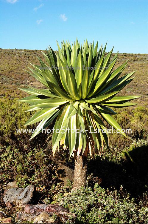 Africa, Ethiopia,Oromia Region, Bale Mountains, giant lobelia, Lobelia deckenii