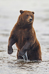 North American brown bear /  coastal grizzly bear (Ursus arctos horribilis) fishing in water between Cook Inlet and Silver Salmon Creek, Lake Clark National Park, Alaska, United States of America
