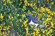 New Zealand Wood Pigeon