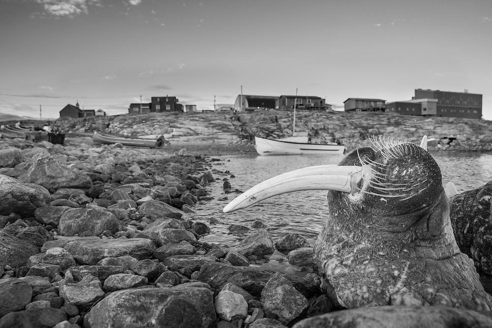 Canada, Nunavut Territory, Repulse Bay, Head of Walrus killed by Inuit hunters lies along shoreline on summer evening
