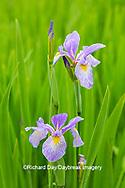 63899-05508 Blue Flag Iris (Iris versicolor) in wetland Marion Co. IL