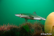 spiny dogfish, piked dogfish, spurdog, or dog shark,  Squalus suckleyi (formerly Squalus acanthias ), swims over red sea urchins, Strongylocentrotus franciscanus, <br /> and orange sea pen, Ptilosarcus gurneyi, Quadra Island off Vancouver Island, British Columbia, Canada