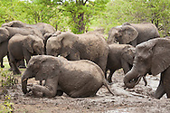 A family group of African elephants (Loxodonta africana) bathing in mud in Kruger National Park, South Africa. A baby elephant lies immersed in mud while others sit or stand in mud. The elephants give themselves a sort of 'spa treatment', covering themselves with mud, then dust for protection from the sun and insects. These are animals in the wild, seen on safari. http://www.gettyimages.com/detail/photo/elephant-family-mud-bathing-south-africa-high-res-stock-photography/92063835