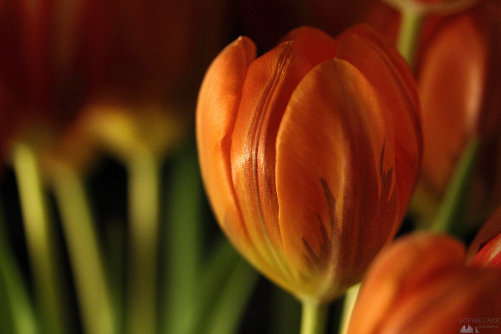 Tulip macro photography Macro image of orange tulips