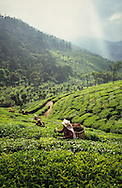 Mid adult women harvest tea leaves at a plantation near Udhagamandalam in the Western Ghats, Tamil Nadu, India.