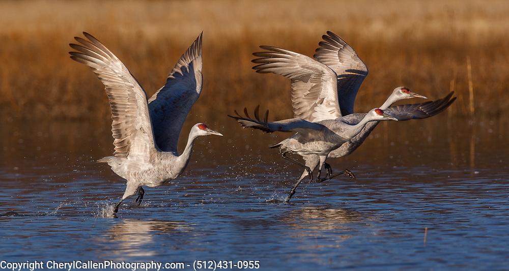 3 Sandhill Cranes taking off in flight