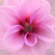 """""""Memories in the Mist""""<br /> <br /> Delicate and dreamy pink Dahlia!!<br /> <br /> Flowers by Rachel Cohen"""