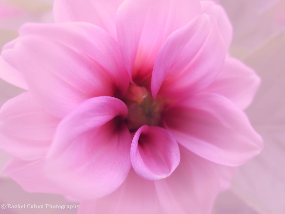 &quot;Memories in the Mist&quot;<br /> <br /> Delicate and dreamy pink Dahlia!!<br /> <br /> Flowers by Rachel Cohen