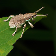 Hypomeces squamosus (Green weevil) beetle...
