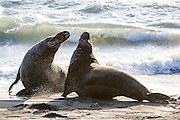 Elephant seals on the beach at the Piedras Blancas Marine Reserve rookery, on Highway 1, near San Simeon, CA,  Feb. 2, 2016. (AJ Mast )